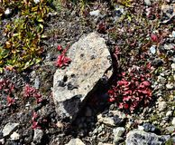 Red leafed plant coming through the groundcover. Red plant amongst the foliage that is growing on the ground in Chugach National Forest along a hiking trail royalty free stock photo