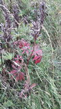 Red leafed plant in meadow. Red leaves on plant in meadow stock photography