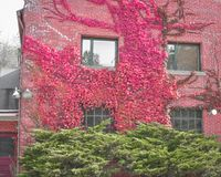 Red Leafed Vines Growing up Red Brick Building Stock Images