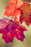 Red leafs stock photos