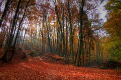 Red leafs. Wood in autumn; sunrays; red leafs royalty free stock image