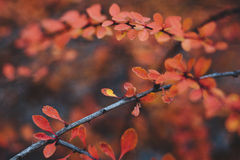 Red leafs Royalty Free Stock Images