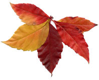 Red Leafs Autumn Tree Isolated Royalty Free Stock Photos