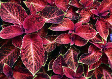 Red leafs background Stock Image