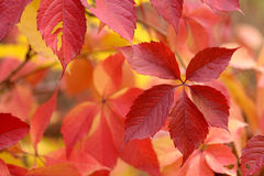 Red leafs background Stock Images