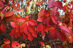 Red leafs background. Stock Images