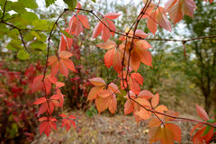 Red leafs background. Stock Image
