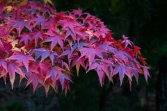 Red leafs of maple tree Stock Images