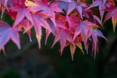 Red leafs of maple tree Stock Photos