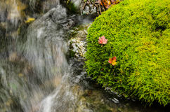 Red leafs resting on moss. Bright red leafs resting of Bright lush green moss next to a flowing stream Royalty Free Stock Photography