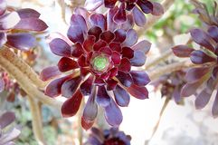 Red leafy succulent. Photo concept for seeds package, price tag, home decor ideas Stock Photography