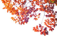 Red Leave Stock Images