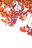 Red Leave 2 Stock Images