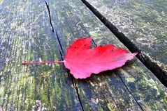 Red leave Royalty Free Stock Image