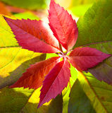 Red leave with backlight Stock Images
