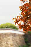 Red leave on branch with evergreen tree and stoned wall background Stock Photos