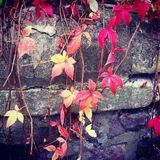 Red leave royalty free stock photography