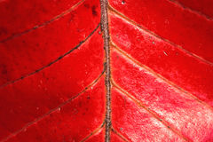 Red leave texture. Close up of Red leave texture for background Royalty Free Stock Image