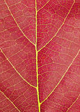 Red leave texture Stock Images