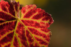 Red leave of vine Royalty Free Stock Photo