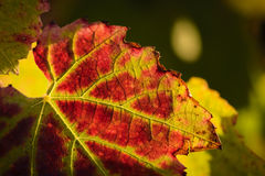 Red leave of vine Royalty Free Stock Images