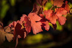 Red leave of vine Royalty Free Stock Image