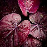 Red leave with water drop background Stock Photo