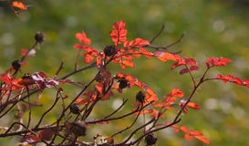 Red leaves. Red autumn foliage of a dog rose Royalty Free Stock Image