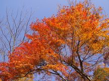 Red leaves. Magnificent autumn tree with red leaves royalty free stock images
