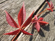 Red leaves. And an old wood royalty free stock photos