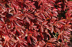 Red leaves. Background of red autumn leaves of a bush tree in South Africa Stock Photo