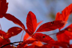 Red leaves. In blue sky Stock Photo