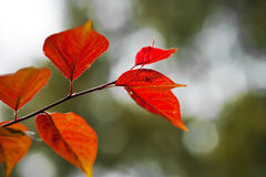 Red leaves. This was a trees picture, the picture has reflected the red leaf's scene Royalty Free Stock Photo