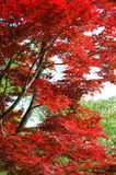 Red leaves. Autumn leaves turn to a lovely red colour in kyoto, Japan Royalty Free Stock Photography
