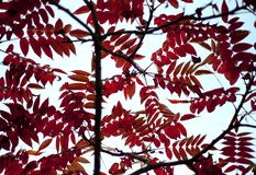 Red leaves. Stock Photos