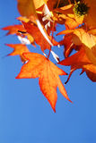 Red Leaves. Leaves of a liquidambar tree in the autumn colour in front of a blue sky Stock Photo