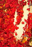Red leaves. The red leaves are covered with white walls Royalty Free Stock Photos