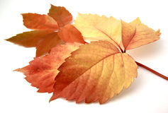 Red leaves. And autumnal isolated in white bottom Stock Images