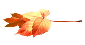 Red leaves. And autumnal isolated in white bottom Royalty Free Stock Images