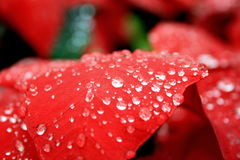 Red leaves. Fresh red leaves with raindrop Stock Photo