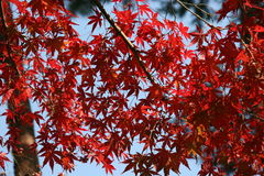 Red leaves. Bright red leaves Stock Photos