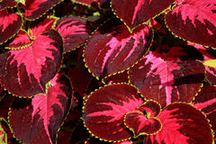 Red leaves. With yellow edges Stock Photo