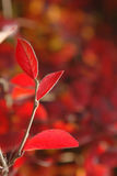Red leaves. Close-up of red leaves stock photo