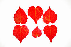 Red leaves. Boston ivy in the fall of the bright red leaves Royalty Free Stock Image