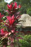 Red leaves. A red-leafed plant in front of a thatched baliense hut Stock Photo