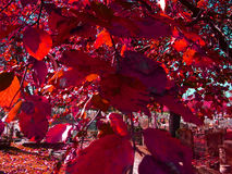 Red Leaves Royalty Free Stock Photo