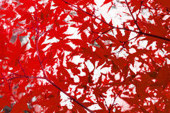Red leaves  , abstract autumn nature background Royalty Free Stock Photo