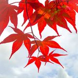 Red leaves Royalty Free Stock Images