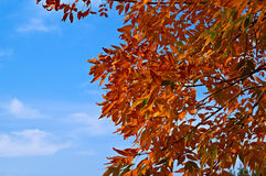 Red leaves against blue sky Royalty Free Stock Photography