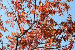 Red leaves against a blue sky. Autumn red leaves on a bright blue sky Stock Photo